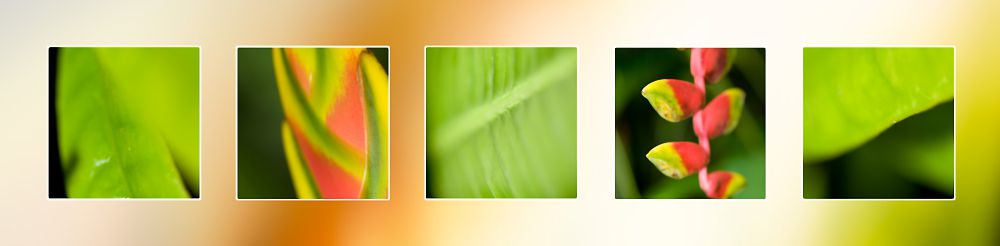 Heliconia Tropical Flowers Far North Queensland Photography