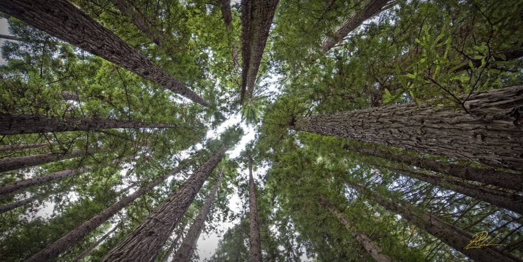 Majestic Pine Trees Fine Art Photography