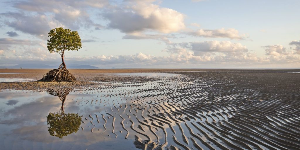 Mangrove Tree Low Tide Far North Queensland Photography