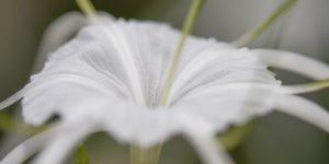 Spider Lily Port Douglas Photography