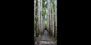 Paronella Tree Pathway Far North Queensland Photography